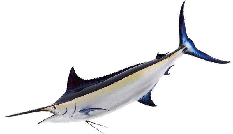 Black Marlin Hawaii black marlin