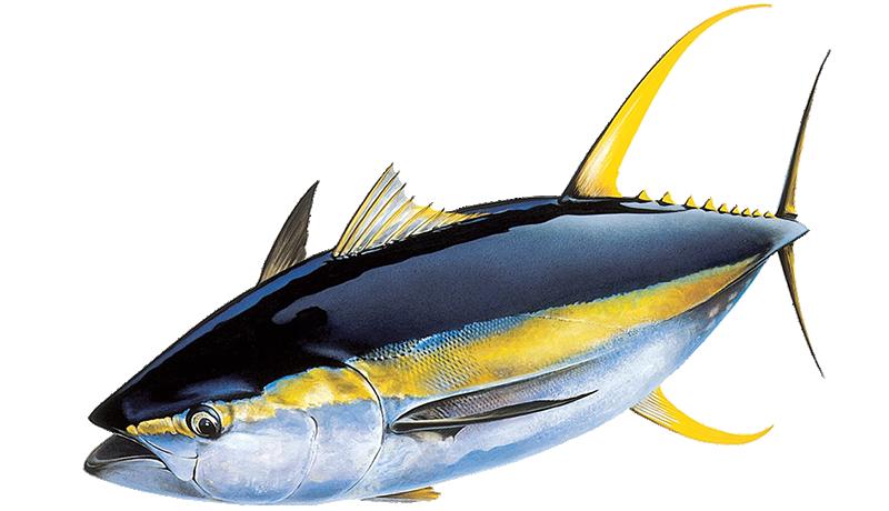Yellowfin Tuna Hawaii yellowfin tuna